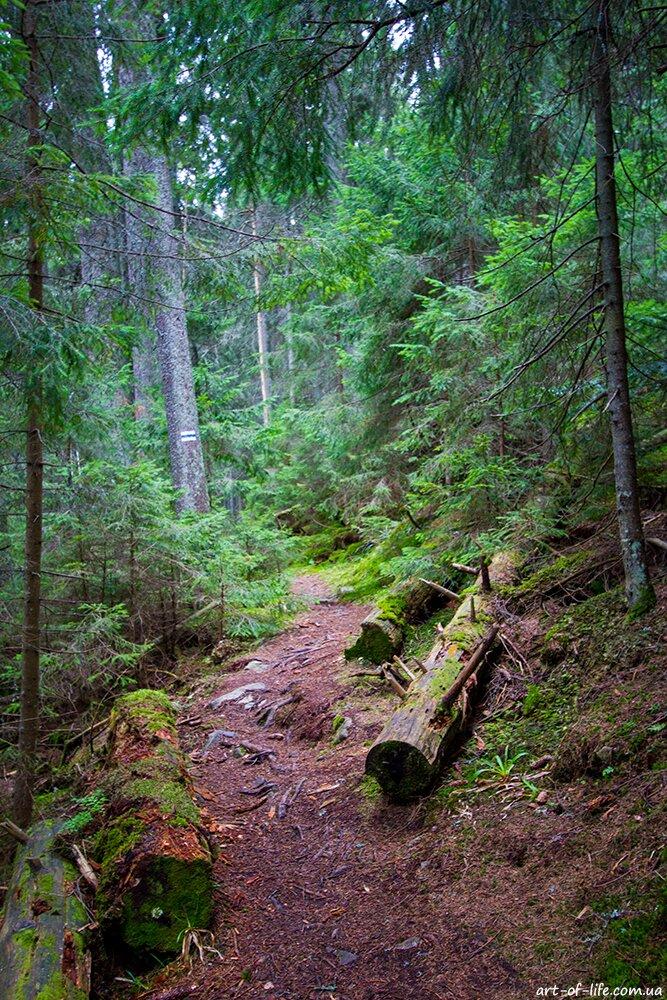 Горгани, маршрут на Ігровець через полонину Середня та зустріч з ведмедями